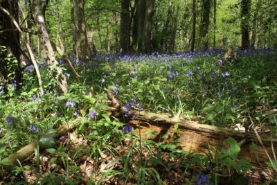 Bluebells in the local woods in spring